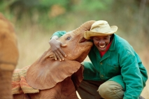 Keeper Patrick with Lingwesi, five week old orphan African Elephant (Loxodonta africana) David Sheldrick Wildlife Trust, Tsavo East National Park, Kenya